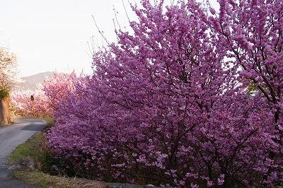 雪割り桜6