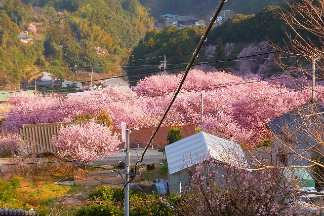 雪割り桜7