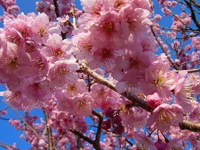 雪割り桜8