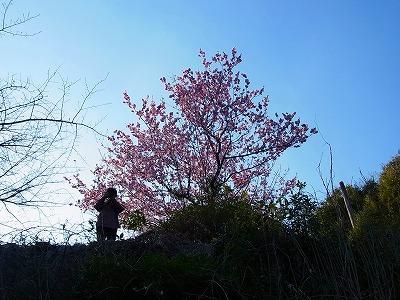 雪割り桜9