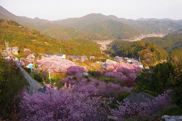 雪割り桜10