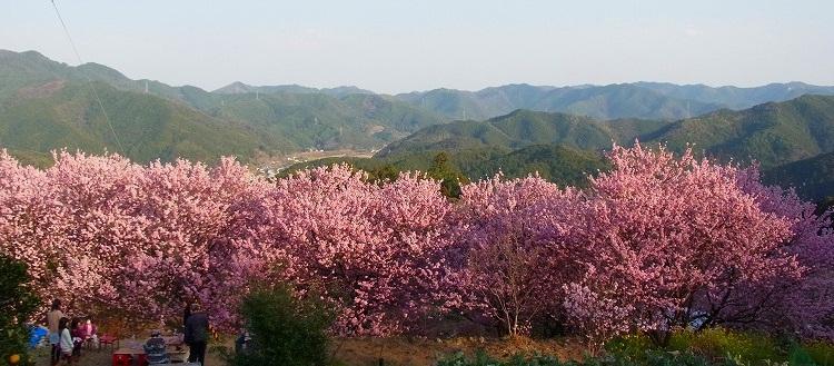 雪割り桜13 今満開