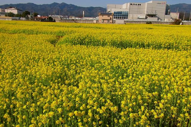 東温市見奈良・菜の花