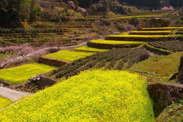 4江田の菜の花