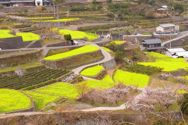 5江田の菜の花