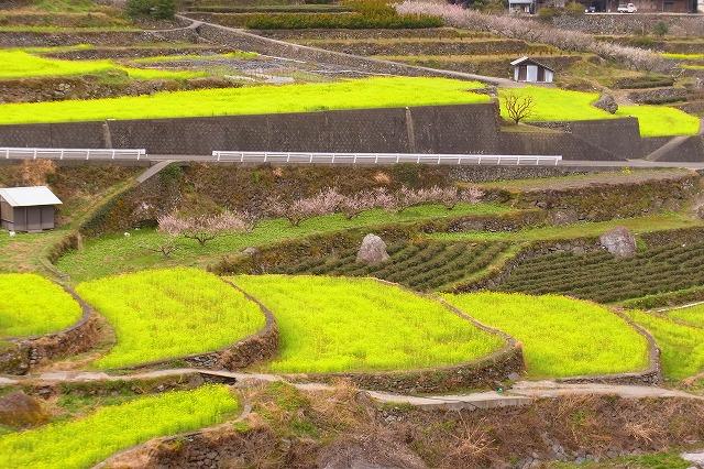 6江田の菜の花