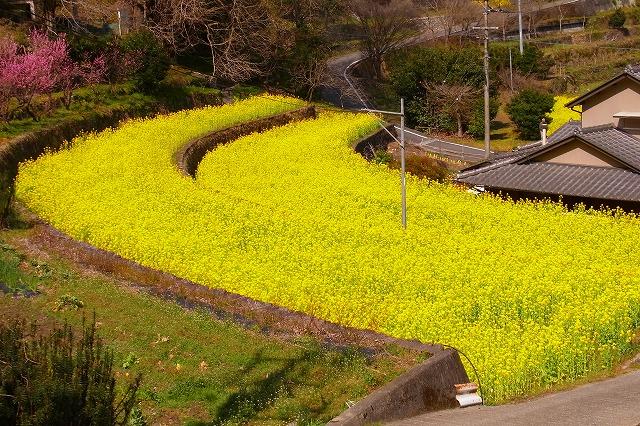 3大久保の菜の花
