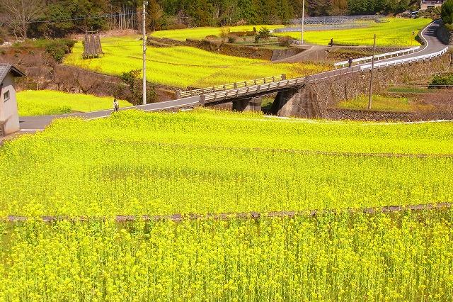 6大久保の菜の花