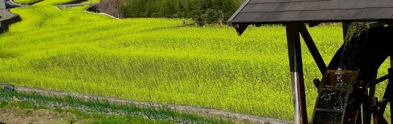 7大久保の菜の花
