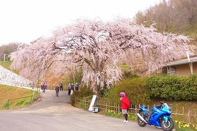堀池しだれ桜2
