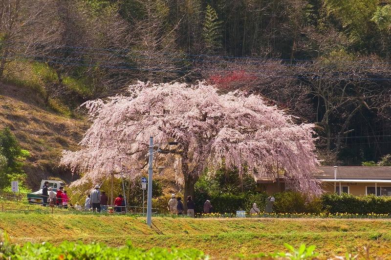 堀池しだれ桜3