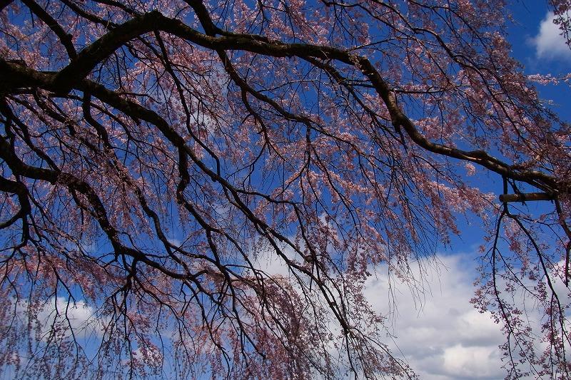 堀池しだれ桜4