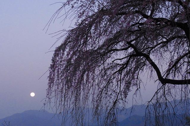 しだれ桜と満月2