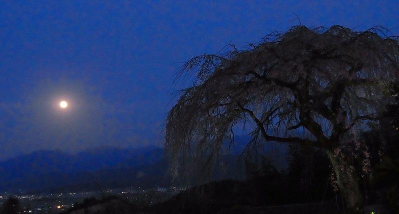 しだれ桜と満月4
