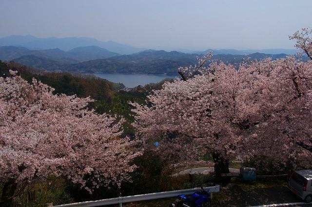 5野福峠の桜