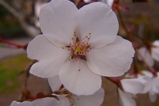 わかぎの桜