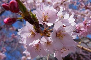 無量寺の枝垂れ桜は、お坊さんが京都・醍醐寺から持ち帰った桜です