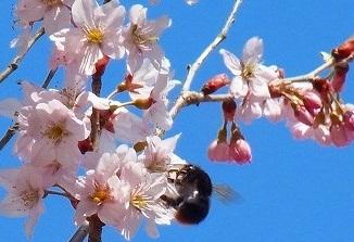 桜と黒いミツバチ