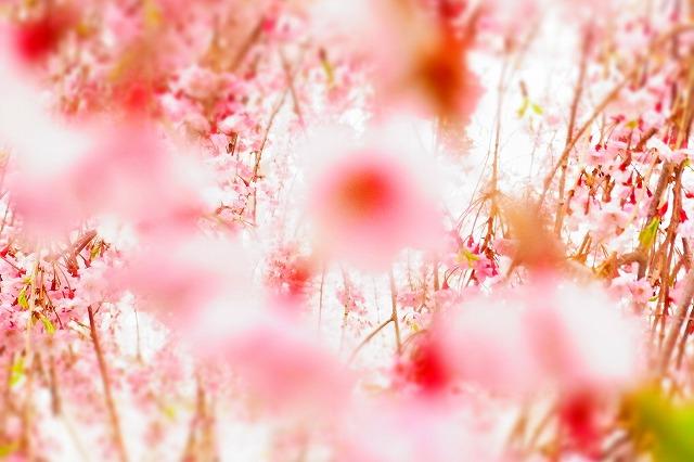 1嵯峨子城址枝垂れ桜