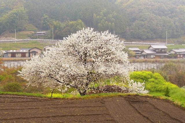 7白い一本桜