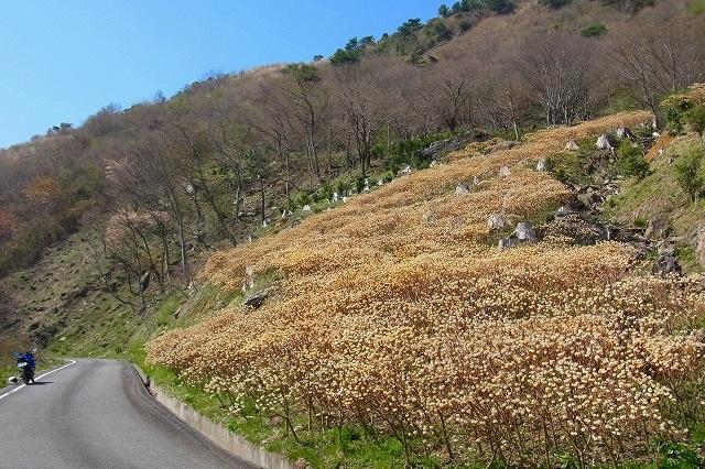 塩塚高原3ミツマタ