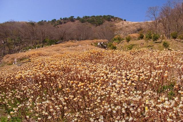 塩塚高原4ミツマタ
