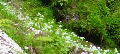 滝壺周辺に群生する 白い小花