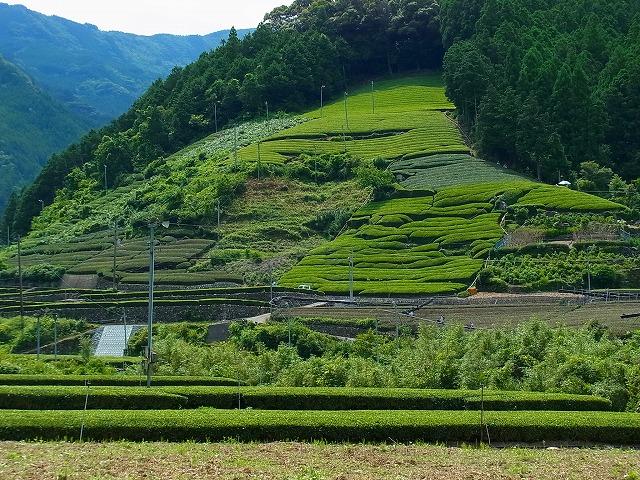 26旧池川町の茶畑