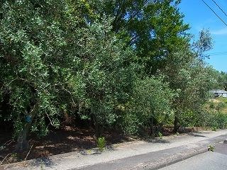 街路樹がオリーブの小豆島を走るよ