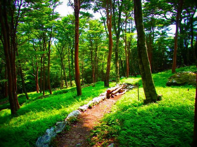 レンゲショウマ3岳人の森