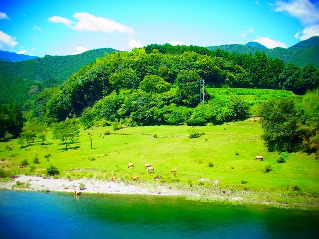 9R439沿いの川に牛さん