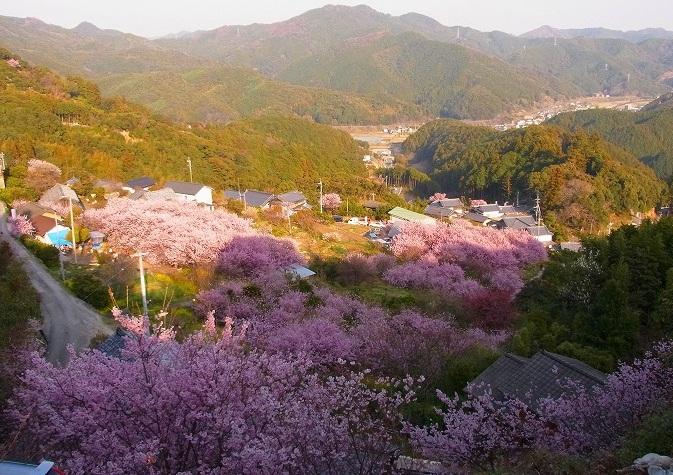 10雪割桜