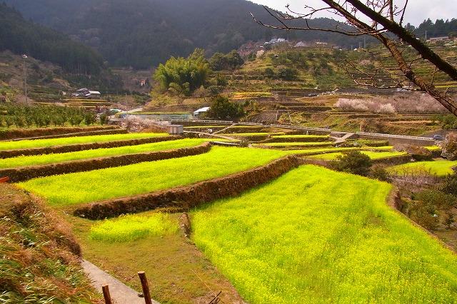 17徳島 江田の菜の花