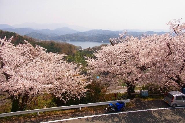 21野福峠の桜