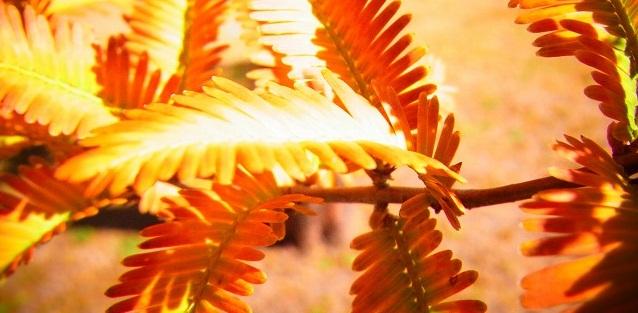 メタセコイヤの葉っぱ