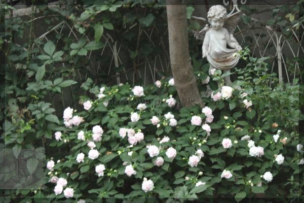 八重咲きインパチェンス ダブル 20141003