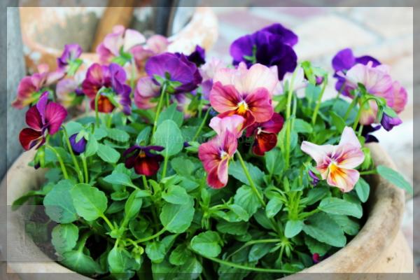 庭の花 ビオラ 玄関 階段脇 20141017