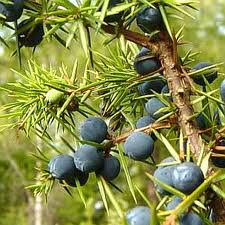 Juniperberry.jpg