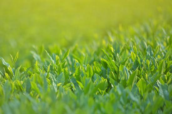 110520_お茶の葉
