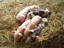 バッタンバンで晴読雨耕-養豚場の子豚