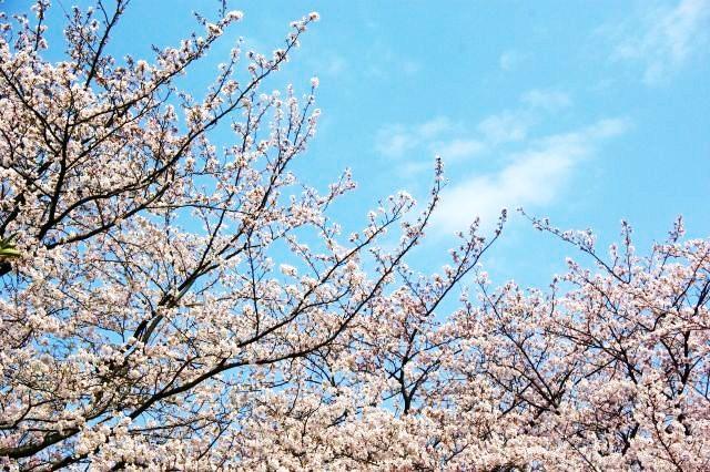 横浜お花見 392