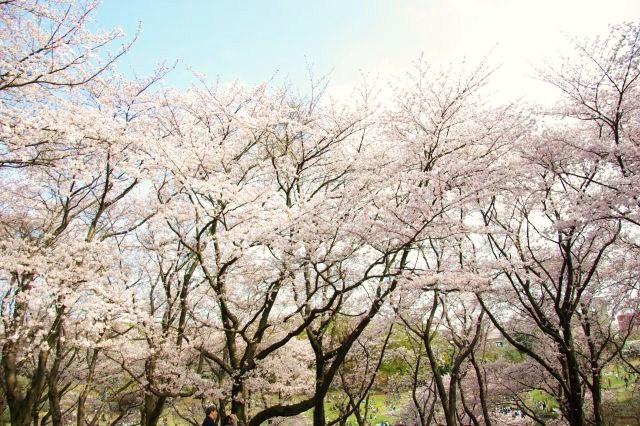 横浜お花見 422