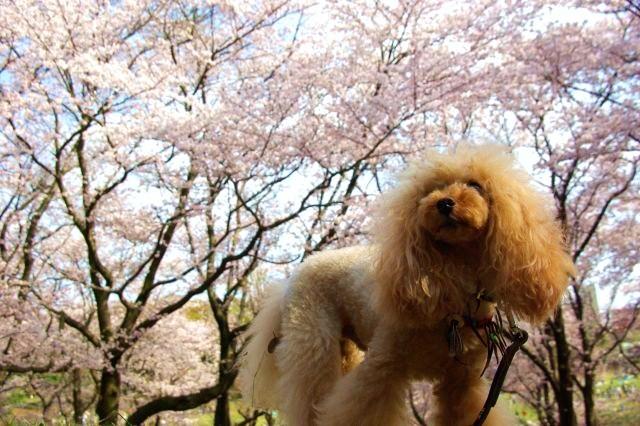 横浜お花見 441