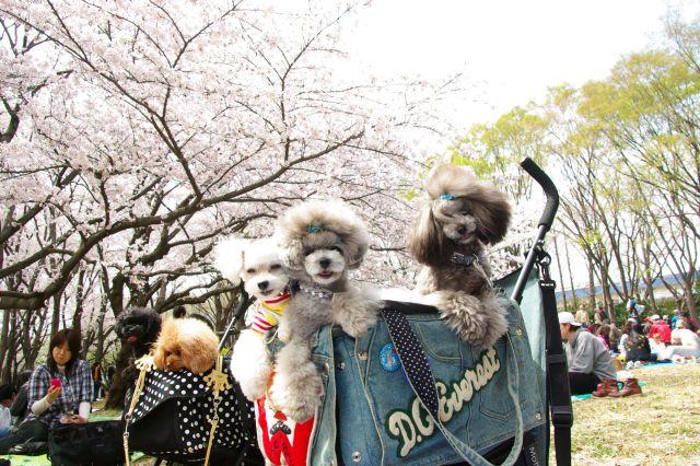 横浜お花見 167