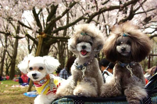 横浜お花見 155