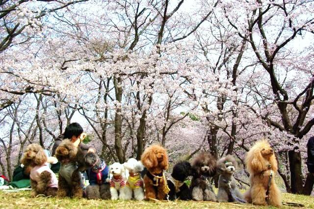 横浜お花見 381