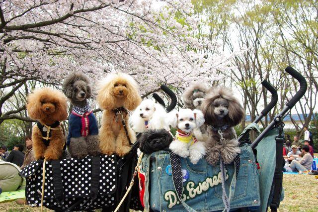 横浜お花見 233