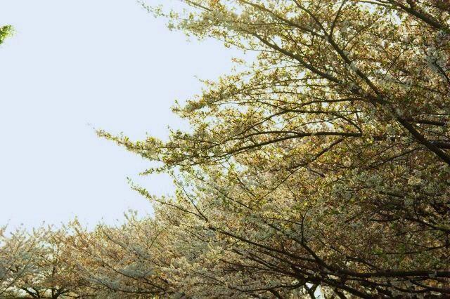 水上公園お花見 559