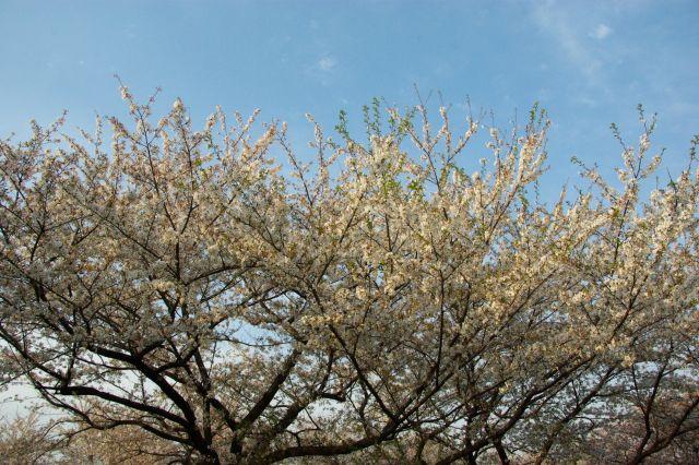 水上公園お花見 540
