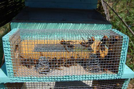 捕獲器内スズメバチ